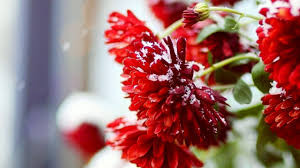 red mums in snow 300x168